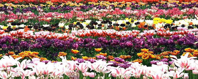 Lale Bahçesi - Amsterdam