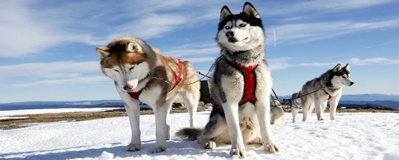 Huskyler - Finlandiya