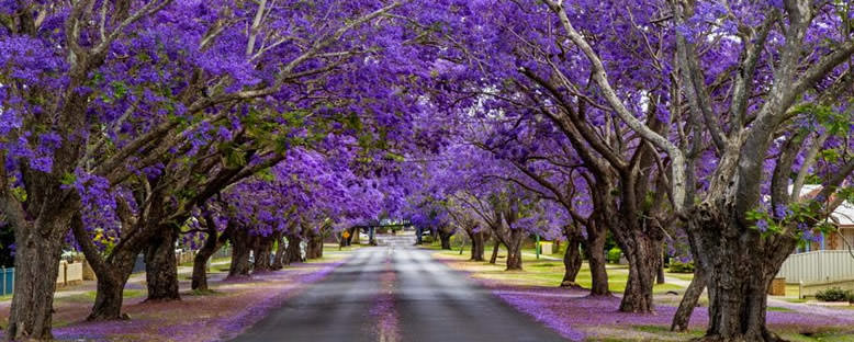 Jacaranda Ağaçları - Johannesburg