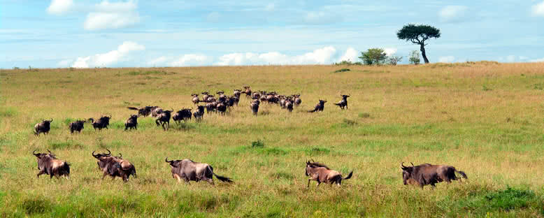 Antilopların Göçü - Maasai Mara