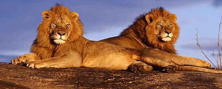 Aslanlar - Masai Mara