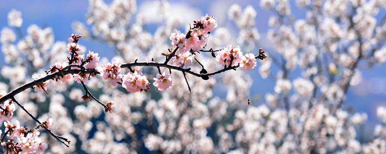 Badem Çiçekleri - Datça