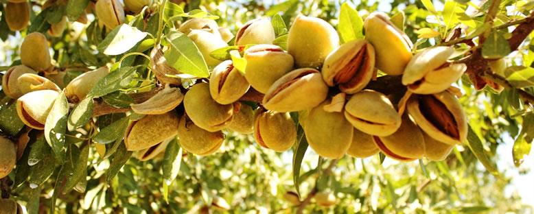 Badem Meyvesi - Datça