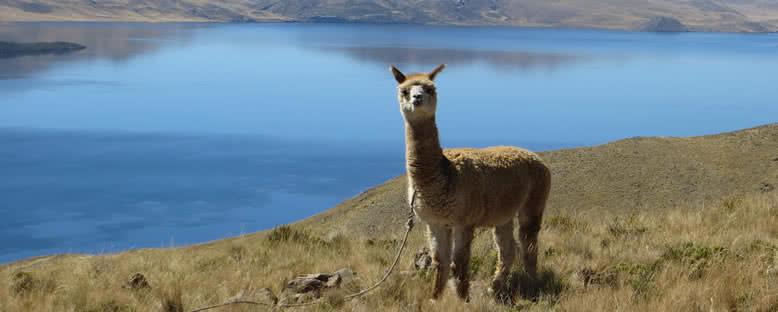 Göl Kıyısında Lama - Puno