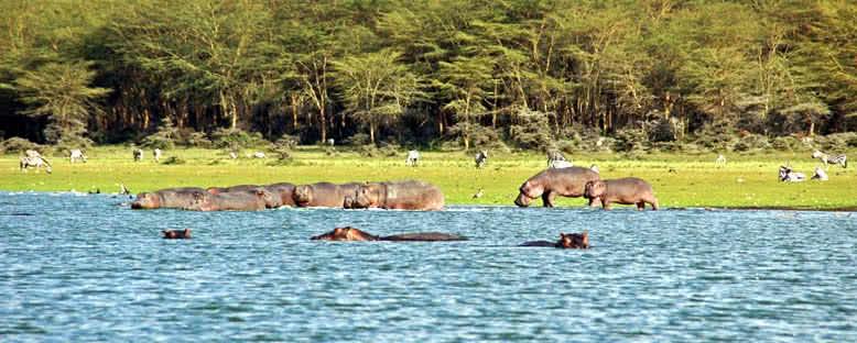 Hipopotamlar ve Zebralar - Naivasha Gölü