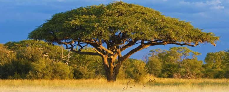 Hwange Ulusal Parkı'nda Akasya Ağacı - Zimbabwe