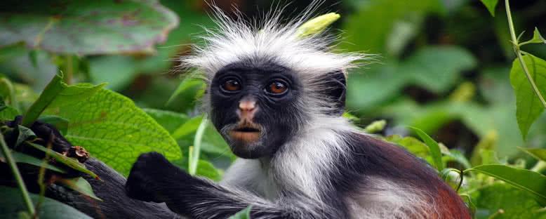 Jozani Ormanı Maymunları - Zanzibar