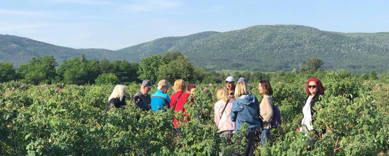 Katılımcılarla Gül Hasadı - Kazanlık Gül Festivali