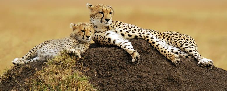 Çita Ailesi - Maasai Mara