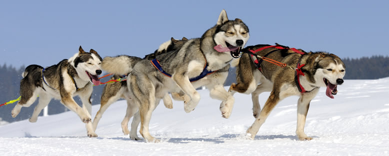 Kızak Köpekleri - Finlandiya