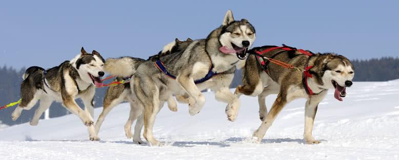 Kızak Köpekleri - Rovaniemi