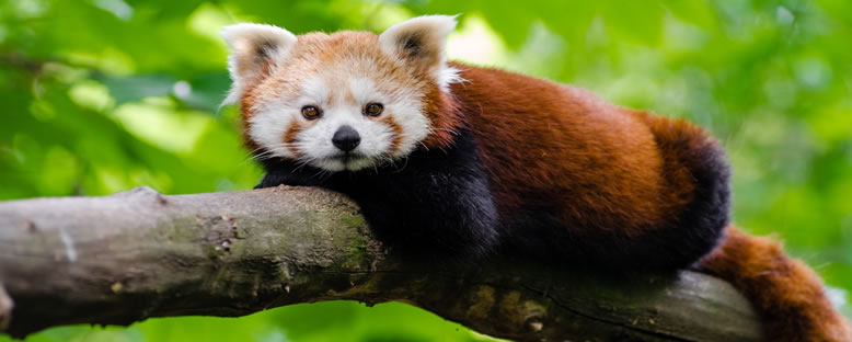 Kızıl Panda - Chengdu