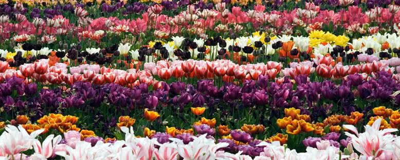 Lale Bahçeleri - Amsterdam