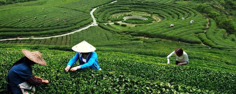 Longjing Çayı Tarlaları - Hangzhou