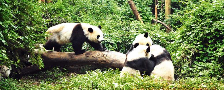 Panda Koruma Merkezi - Chengdu