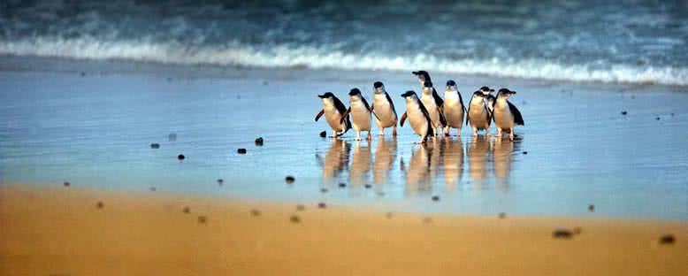 Phillip Adası Penguenleri - Melbourne