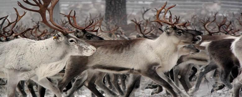 Ren Geyikleri - Rovaniemi