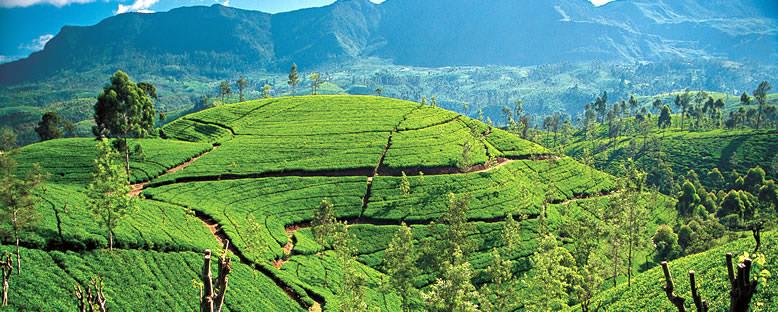 Çay Tarlaları - Kandy