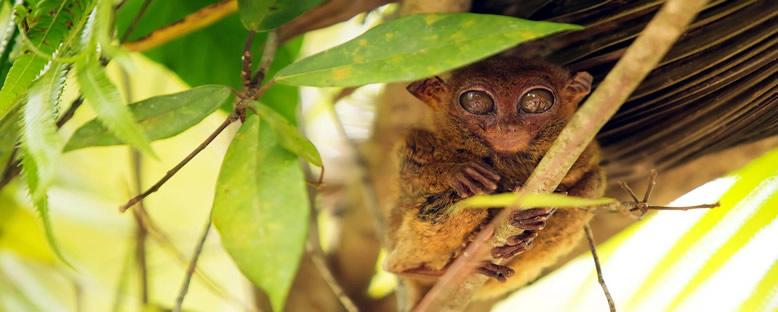 Tarsier Maymunları - Bohol