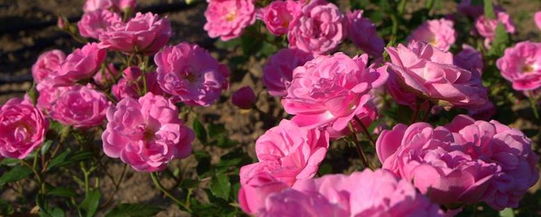 Ünlü Güller - Kazanlık Gül Festivali