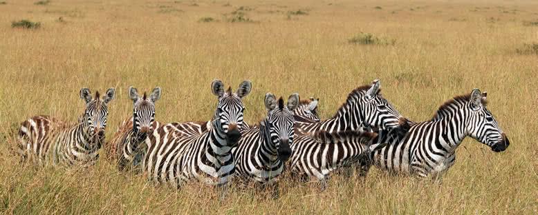 Zebralar - Maasai Mara